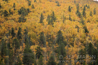 Birch forest in fall colors