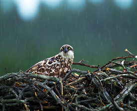 Osprey, Pandion haliaeetus, female brooding young on nest in heavy rain, Finland, July