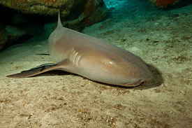 Nurse shark (about 7' long) in cavern about 45' deep on Palencar Bricks divesite, Cozumel, Mexico