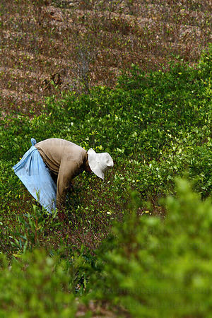 Woman harvesting coca leaves ( Erythroxylum coca ) on hillside , Yungas region , Bolivia