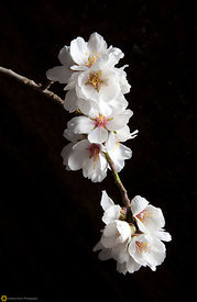 Close Up of Almond Blossoms #2