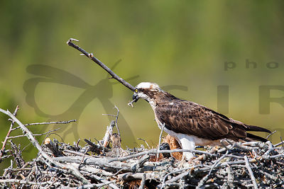 Osprey fixing it's nest