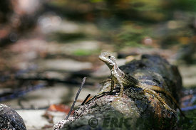 costa rica lezard jesus christ