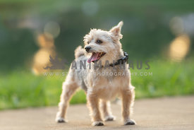 full body, standing, panting yorkie terrier mix looking away