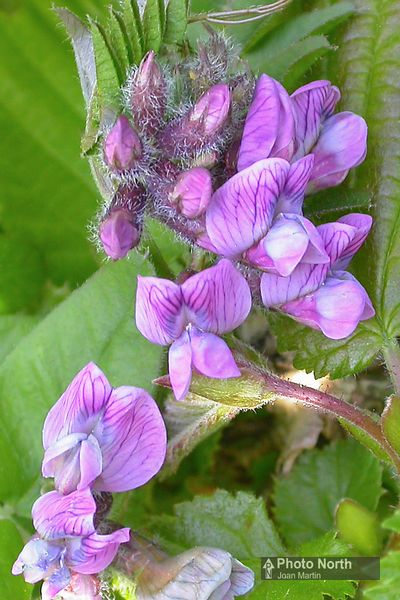 VETCH 01A - Tufted vetch