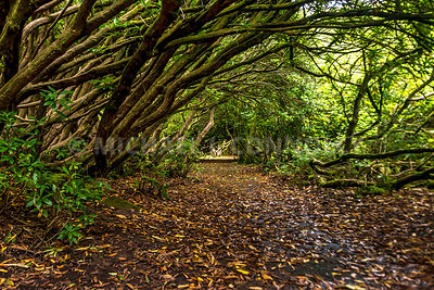 Rhododendron Tunnel, Craig-y-Nos Country Park- Powys, Wales