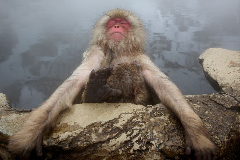 Japanese macaque (Macaca fuscata) relaxing in hot spring in Jigokudani, Yaenkoen, Nagano, Japan, February.