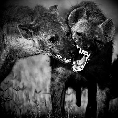 9710-Two_hyenas_Kenya_2006_Laurent_Baheux