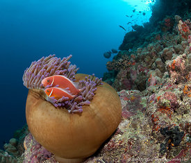 Anemone and anemonefish on reef outcropping, Steve's Bommie divesite, Great Barrier Reef, Australia