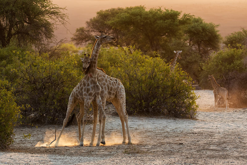 Giraffes Neck Fighting at Sunset