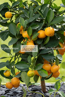 Calamondin (Citrus madurensis), Fruit