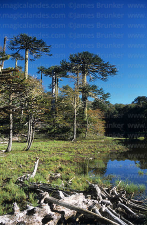 Monkey Puzzle (Araucaria araucana) forest and Laguna Los Patos, Huerquehue National Park, Region IX, Chile