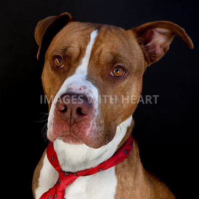 Pitbull With Tie Looking At Camera