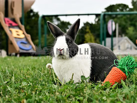 Dutch rabbit at elementry school playground