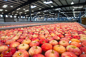 Apple Sorting #10