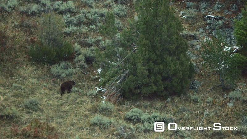 A lone Grizzly Bear hunts for food among sagebrush and juniper trees in the foothils of the Madison mountain Range in Southwest Montana