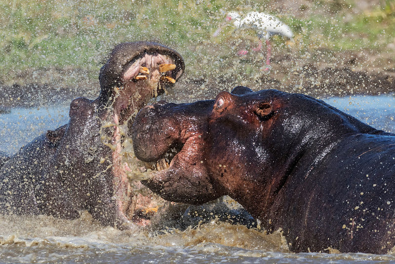 Battling Male Hippos Fighting over Territory