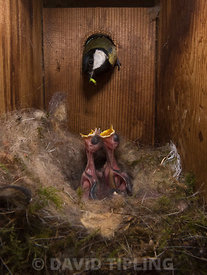 Great Tit, Parus major, feeding young that are around 6 days old inside a nest box Norfolk May