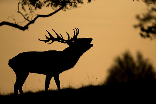 Red Deer Rut - North Yorkshire photos