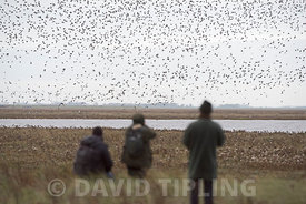 Birders watching Knot and Oystercatchers at high tide over the Wash at RSPB Snettisham Reserve Norfolk November