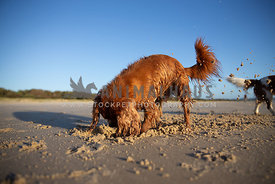 dog digging a hole and kicking up sand