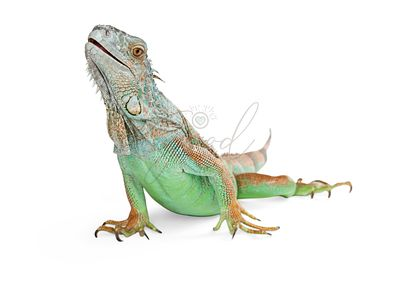 Beautiful Iguana Lizard Isolated on White