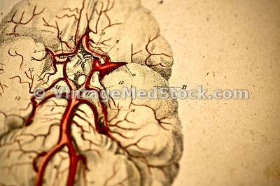 Cerebral Blood Flow