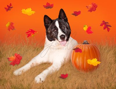 Dog In Field with Pumpkin and Fall Leaves