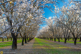 Almond Orchards in Bloom #8