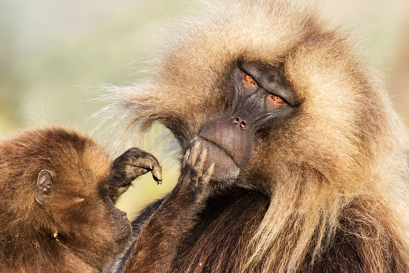 Male Gelada Baboon being Groomeed by a Sub-adult