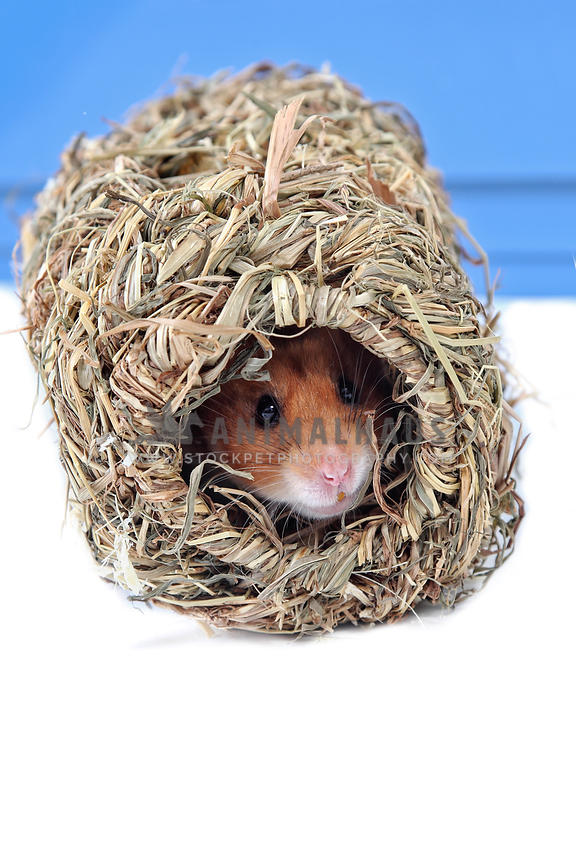 hamster peeking out from straw tunnel toy