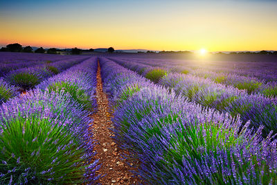 Lavender field at sunset, Provence, France