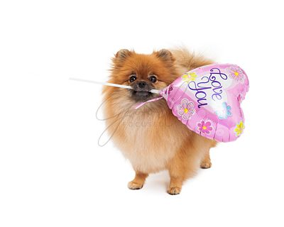 Pomeranian Holding Love You Balloon