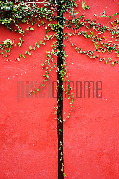 creeper growing on red wall