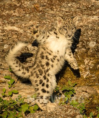 Snow_Leopard_Cub-Triple_D_wildlife-22017-933-July_31_2017