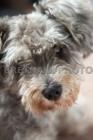 Tilly The Schnauzer