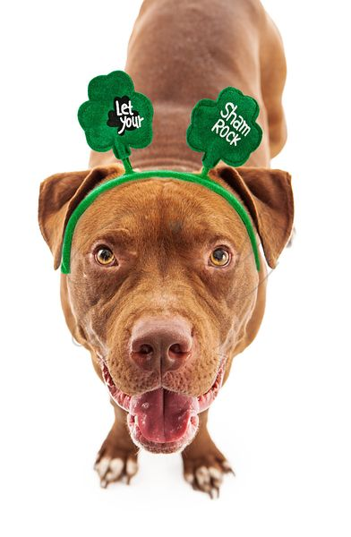 Pit Bull Wearing St Patricks Headband