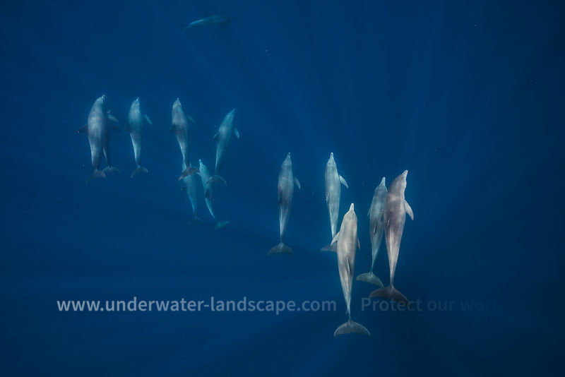 Dolphin group underwater in Mayotte island