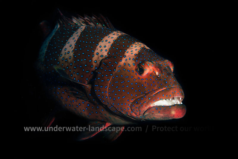 Roving coralgrouper