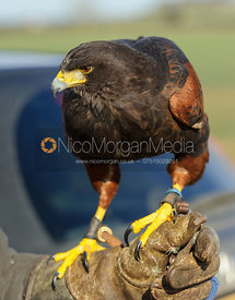 The Belvoir's Harris Hawk, Buzby - The Belvoir at Burton Pedwardine