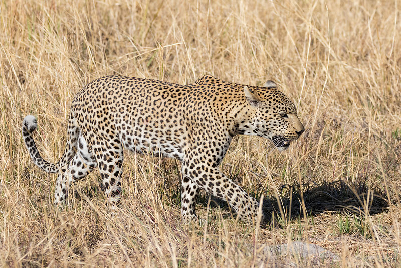Male Leopard Walking Through Dry Grass