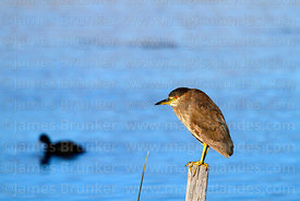 Black crowned night heron (Nycticorax nycticorax hoactli)
