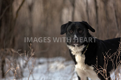 Black and white dog in forest in winter