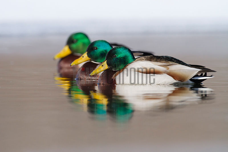 Mallard Ducks Lined up in a Row