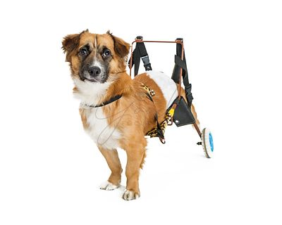 Handicapped Dog in Wheelchair