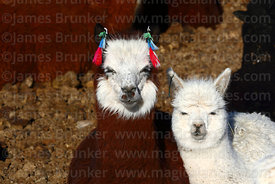 2 cute alpacas (Vicugna pacos) next to each other
