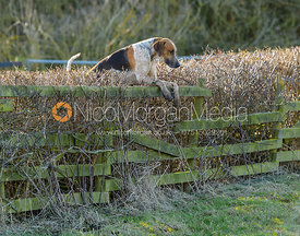 A Cottesmore hound jumping a hedge at Town Park Farm - The Cottesmore at Town Park Farm