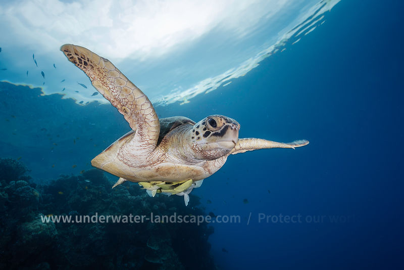 Green Sea Turtle - Underwater photography