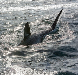 Great White Shark (Carcharodon carcharias) near Seal Island in False Bay, Simons Town, South Africa; Landscape