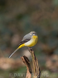 Grey Wagtail Motacilla cinerea winter male on edge of woodland pool North Norfolk February